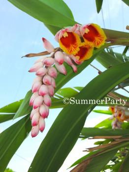 月桃の花2