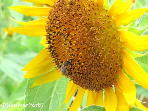 宮古島のひまわりとミツバチ