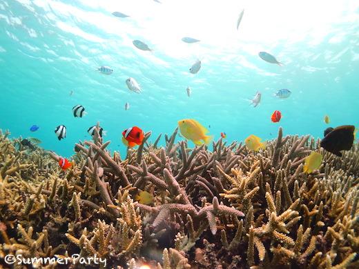 枝サンゴに群れるトロピカルフィッシュ