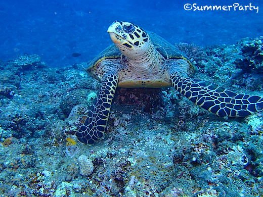 宮古島体験ダイビングでウミガメと遭遇