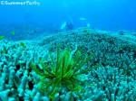 ヤビジ ユビエダハマサンゴの群生