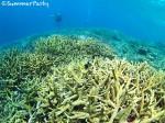 ヤビジ 枝サンゴの群生