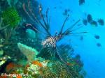 八重干瀬 ハナミノカサゴ幼魚