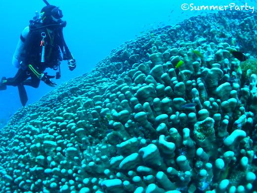 八重干瀬 コモンシコロサンゴの群生