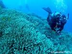 八重干瀬 ユビエダハマサンゴの群生