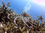 小魚を狙うハナミノカサゴ