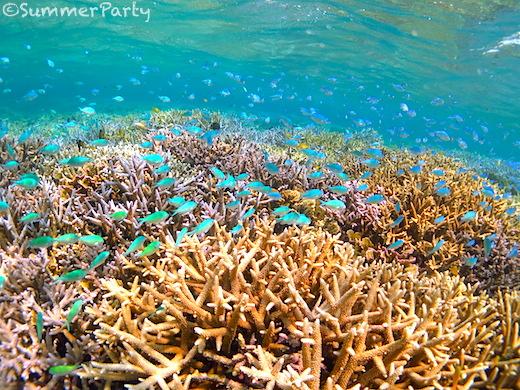八重干瀬のサンゴ礁とデバスズメダイ