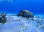 食事に夢中のウミガメ