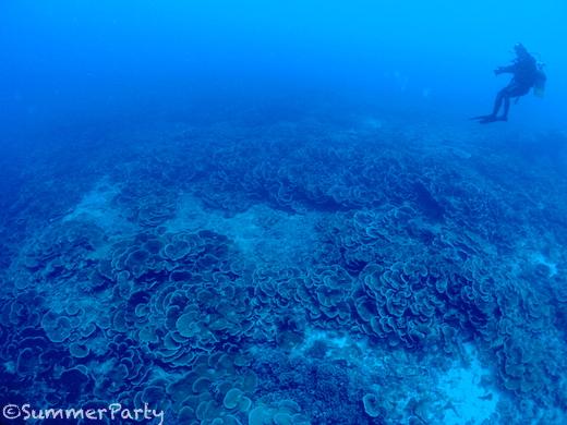 八重干瀬 リュウキュウキッカサンゴの群生