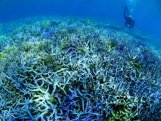 八重干瀬 枝サンゴの群生