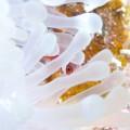 白化したイソギンチャクに隠れるハマクマノミyg