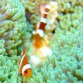 カクレクマノミの幼魚とイソギンチャクモエビ