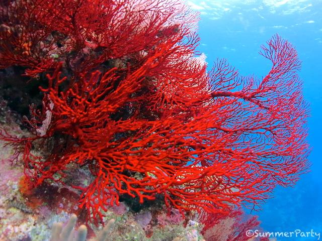 真っ赤なイソバナサンゴ