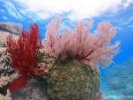 イソバナサンゴ