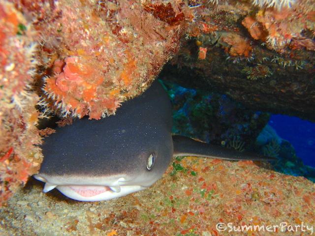 ハマサンゴの下でお昼寝中のネムリブカ