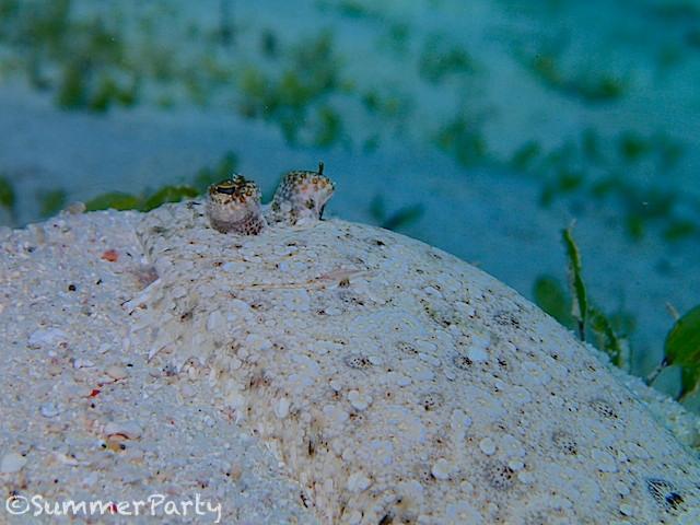 砂地に潜むモンダルマガレイ