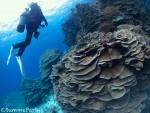 博愛ハマサンゴ サンゴの群生