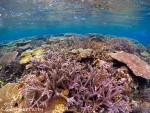 博愛ハマサンゴ リーフ上のサンゴ礁
