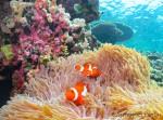 サンゴに囲まれて住むカクレクマノミ