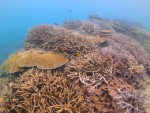枝サンゴとテーブルサンゴの群生
