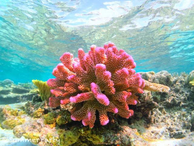 ピンク色のサンゴ