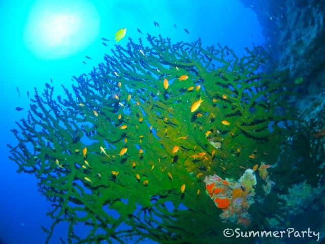 巨大ナンヨウキサンゴ