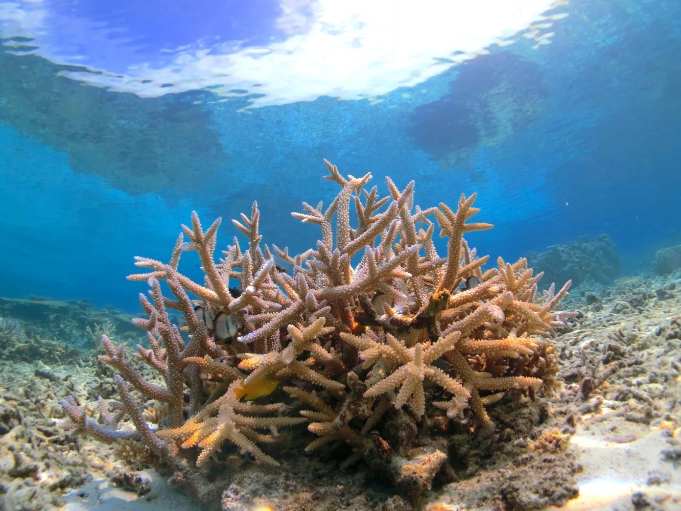 八重干瀬の枝サンゴ
